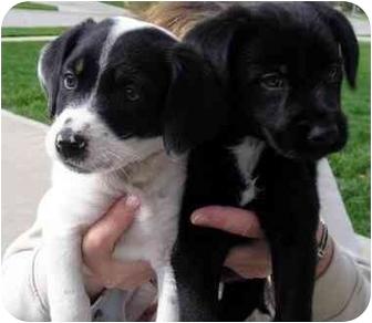 Spaniel (Unknown Type)/Terrier (Unknown Type, Medium) Mix Puppy for adoption in Overland Park, Kansas - P-Nut Pups II
