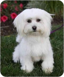 Maltese Dog for adoption in Newport Beach, California - BRIANNA