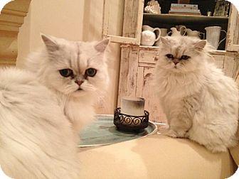 Persian Cat for adoption in Davis, California - Crystal and Powder