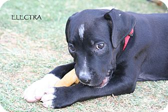 Labrador Retriever Mix Puppy for adoption in Phoenix, Arizona - Electra