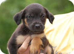 Shepherd (Unknown Type)/Labrador Retriever Mix Puppy for adoption in Hammonton, New Jersey - swiss