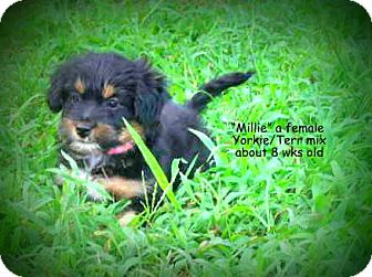 Terrier (Unknown Type, Small) Mix Puppy for adoption in Gadsden, Alabama - Millie