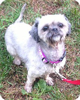 Lhasa Apso Mix Dog for adoption in Bloomfield, Connecticut - Olga Da Polga