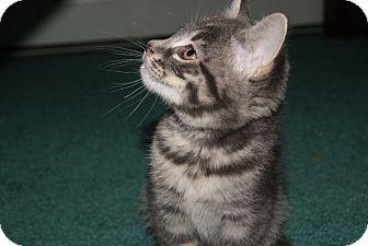 Domestic Shorthair Kitten for adoption in Trevose, Pennsylvania - Fuzzer