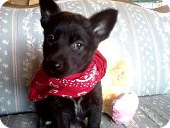 Labrador Retriever/German Shepherd Dog Mix Dog for adoption in Wapato, Washington - Shasta