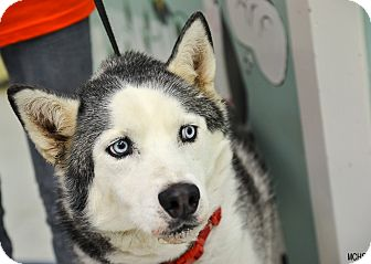 Siberian Husky/Husky Mix Dog for adoption in Martinsville, Indiana - Denali