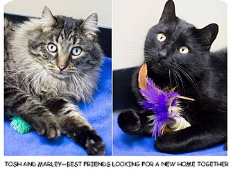 Maine Coon Cat for adoption in Chicago, Illinois - Tosh & Marley