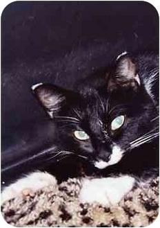 Domestic Shorthair Cat for adoption in Owatonna, Minnesota - Sabrina
