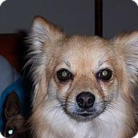 Adopt A Pet :: Amigo - Tucson, AZ