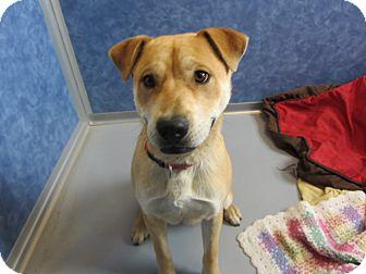 Labrador Retriever/Pit Bull Terrier Mix Dog for adoption in Ridgway, Colorado - Baja