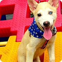 Adopt A Pet :: Gummy - Temple City, CA