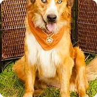Adopt A Pet :: Chewbarka - New Boston, NH