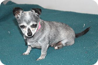 Chihuahua Dog for adoption in Yorba Linda, California - Audrey