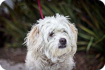 Miniature Poodle Mix Dog for adoption in Berkeley, California - Lola
