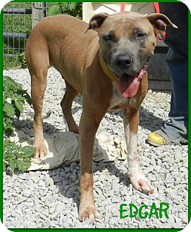 Great Dane/Pit Bull Terrier Mix Dog for adoption in Lawrenceburg, Tennessee - Edgar