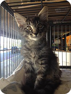Domestic Mediumhair Kitten for adoption in Snohomish, Washington - Oliver - Handsome and cuddly