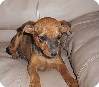 Chihuahua/Manchester Terrier Mix Puppy for adoption in Meridian, Idaho - Ace