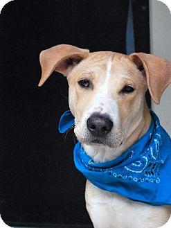 Catahoula Leopard Dog/Labrador Retriever Mix Dog for adoption in Baton Rouge, Louisiana - Simba