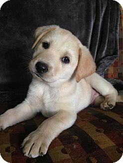 Husky/Retriever (Unknown Type) Mix Puppy for adoption in Portland, Maine - Rice