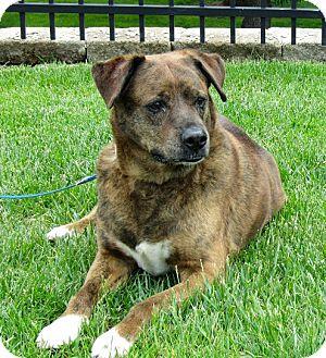 Boxer Mix Dog for adoption in Overland Park, Kansas - A069093 Roro