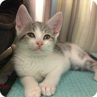 Domestic Shorthair Kitten for adoption in Toronto, Ontario - Yoga