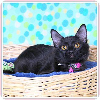 Domestic Shorthair Cat for adoption in Glendale, Arizona - Typhoon
