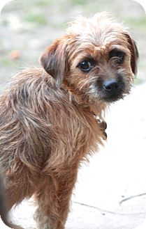 Brussels Griffon/Terrier (Unknown Type, Small) Mix Dog for adoption in Allentown, Pennsylvania - Buttons