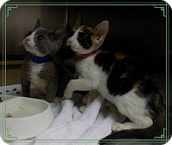 Devon Rex Kitten for adoption in Marietta, Georgia - YABBA DABBA DOO
