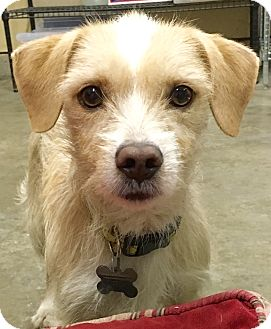 Jack Russell Terrier/Beagle Mix Dog for adoption in San Pedro, California - Freddy