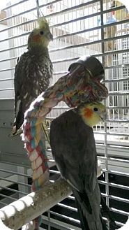 Cockatiel for adoption in West Fargo, North Dakota - Guy and Honey (Bonded pair)