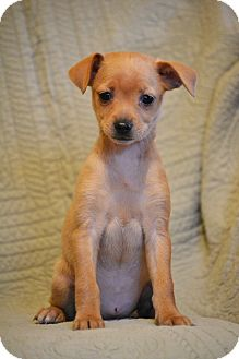 Miniature Pinscher Mix Puppy for adoption in Allentown, Pennsylvania - Ambrosia