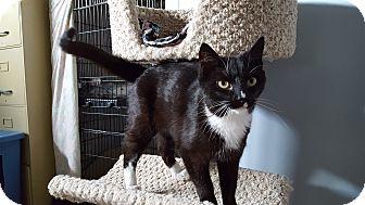 Domestic Shorthair Cat for adoption in Irwin, Pennsylvania - Becca
