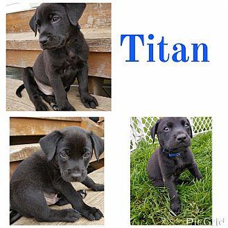 Rottweiler/Labrador Retriever Mix Puppy for adoption in ST LOUIS, Missouri - Titan