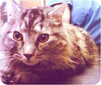 Norwegian Forest Cat Cat for adoption in New York, New York - Majesty