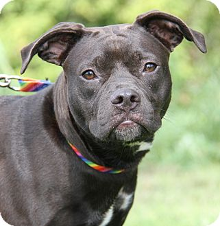 Boxer Mix Dog for adoption in Marietta, Ohio - Violet  (Spayed)