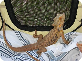 Lizard for adoption in Christmas, Florida - 2 Bearded Dragons