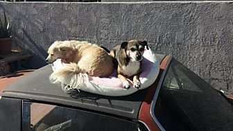 Chihuahua Mix Dog for adoption in Harbor City, California - Sassy & Terra