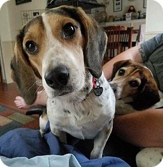 Beagle Dog for adoption in Livonia, Michigan - Buckwheat-ADOPTED