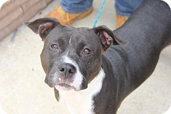 Pit Bull Terrier Mix Dog for adoption in Greensboro, North Carolina - Lola