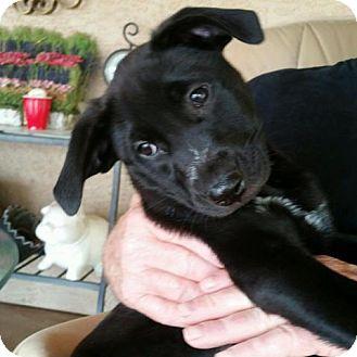 Labrador Retriever/Australian Cattle Dog Mix Puppy for adoption in Cave Creek, Arizona - Bandit