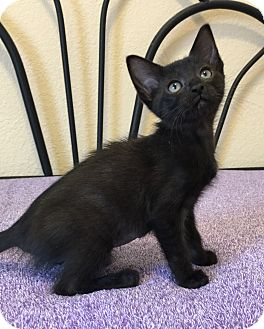 Domestic Shorthair Kitten for adoption in Plano, Texas - PARIS - BORN IN FOSTER CARE!