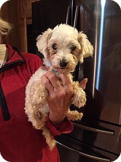 Poodle (Miniature) Mix Dog for adoption in Ashville, Ohio - Harley