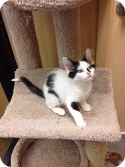 Domestic Shorthair Kitten for adoption in San Leandro, California - Tsavo
