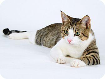 Domestic Shorthair Cat for adoption in Kingston, Ontario - Bean