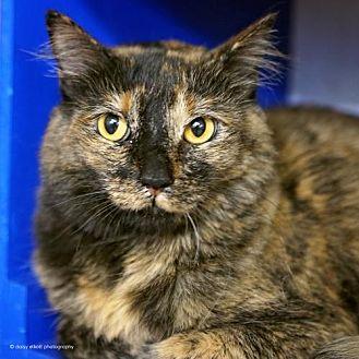 Domestic Mediumhair Cat for adoption in Tucson, Arizona - Bridgette