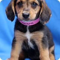 Adopt A Pet :: Luciana - Waldorf, MD