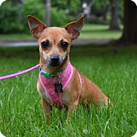 Chihuahua Mix Puppy for adoption in Pennington, New Jersey - Shimi