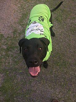 Weimaraner/Boxer Mix Dog for adoption in Russellville, Kentucky - Elsa