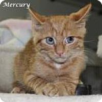 Domestic Shorthair Kitten for adoption in Madisonville, Tennessee - Mercury