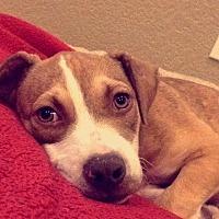 Adopt A Pet :: Cheerio - Austin, TX